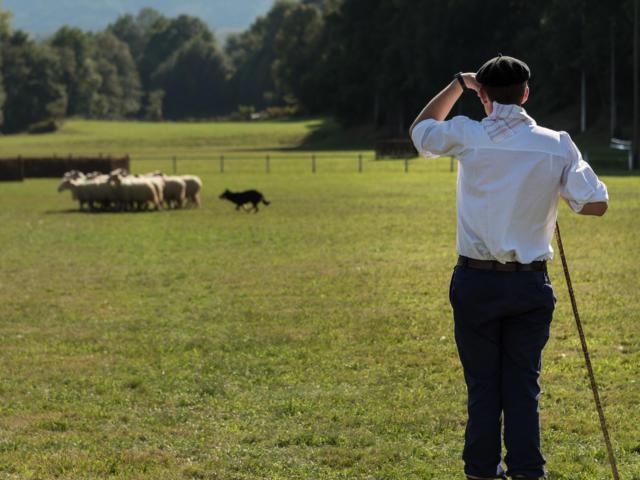 Berger regardant son troupeau et son border collié à la Fête des Bergers d'Aramits