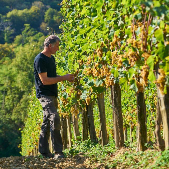 Un vigneron observe les grappes de raisin dans ses vignes