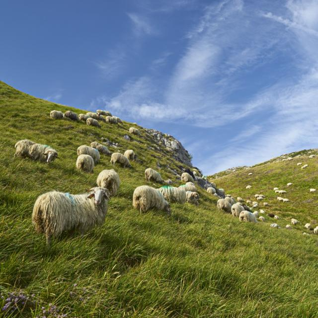 Troupeau de mouton dispersé à Lees-Athas