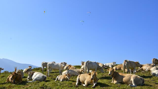 Parapentistes survolent troupeau de vaches