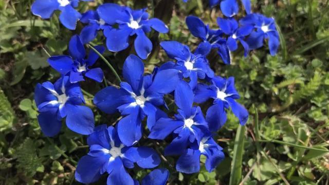 Gentiane fleurs bleues
