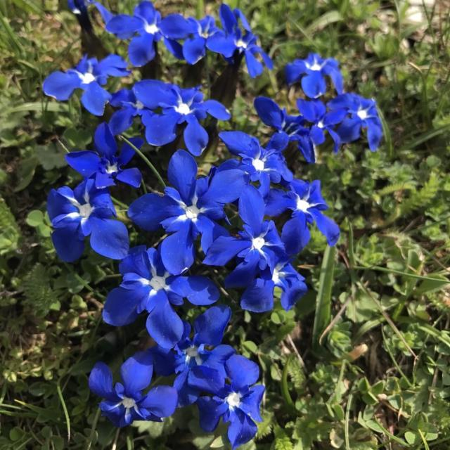 Flores azules, genciana