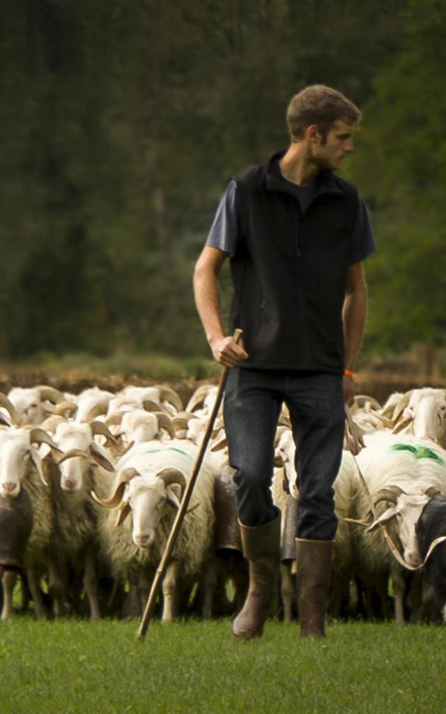 Un berger dirige troupeau de brebis