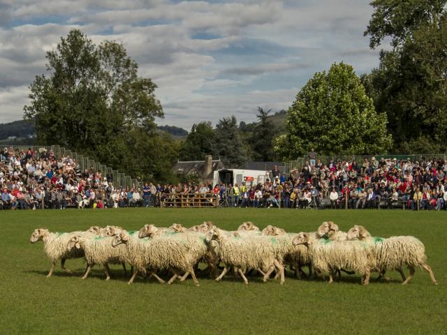 Troupeau de brebis pendant concours de chiens de berger